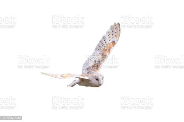 Barn owl with spread wings flying picture id1072472232?b=1&k=6&m=1072472232&s=612x612&h=8kv352fpum8jf0psyfgjahyd zkf7f70ujs9lzh kju=