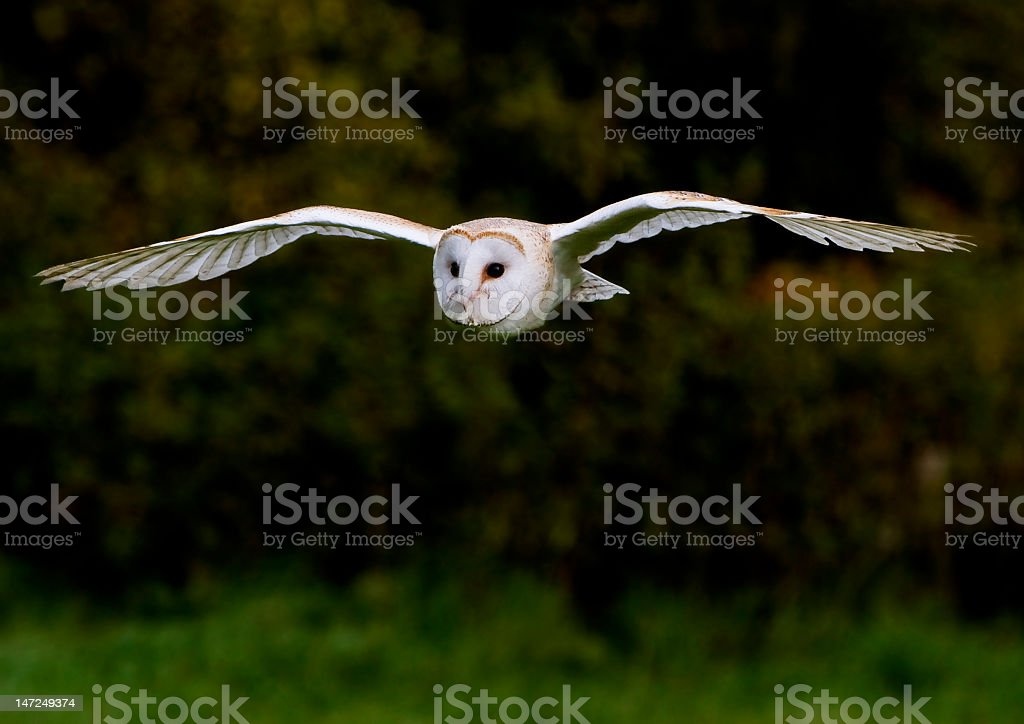 Barn owl with wings outstretched in flight against green stock photo