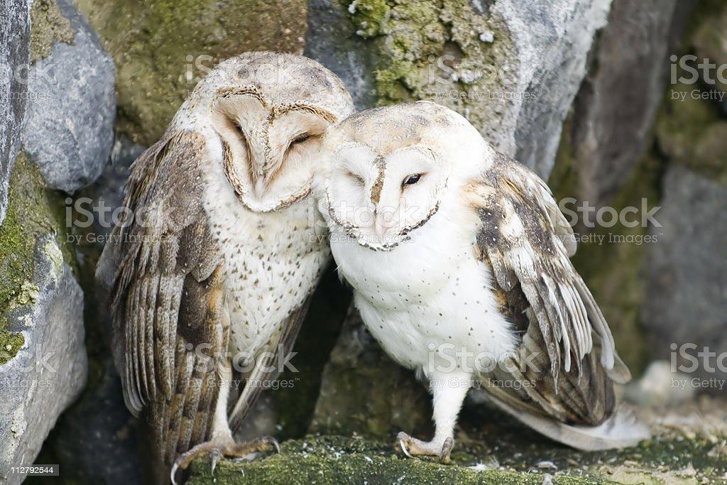Barn Owls (Tyto alba) stock photo