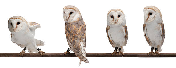 barn owls - owl stock photos and pictures