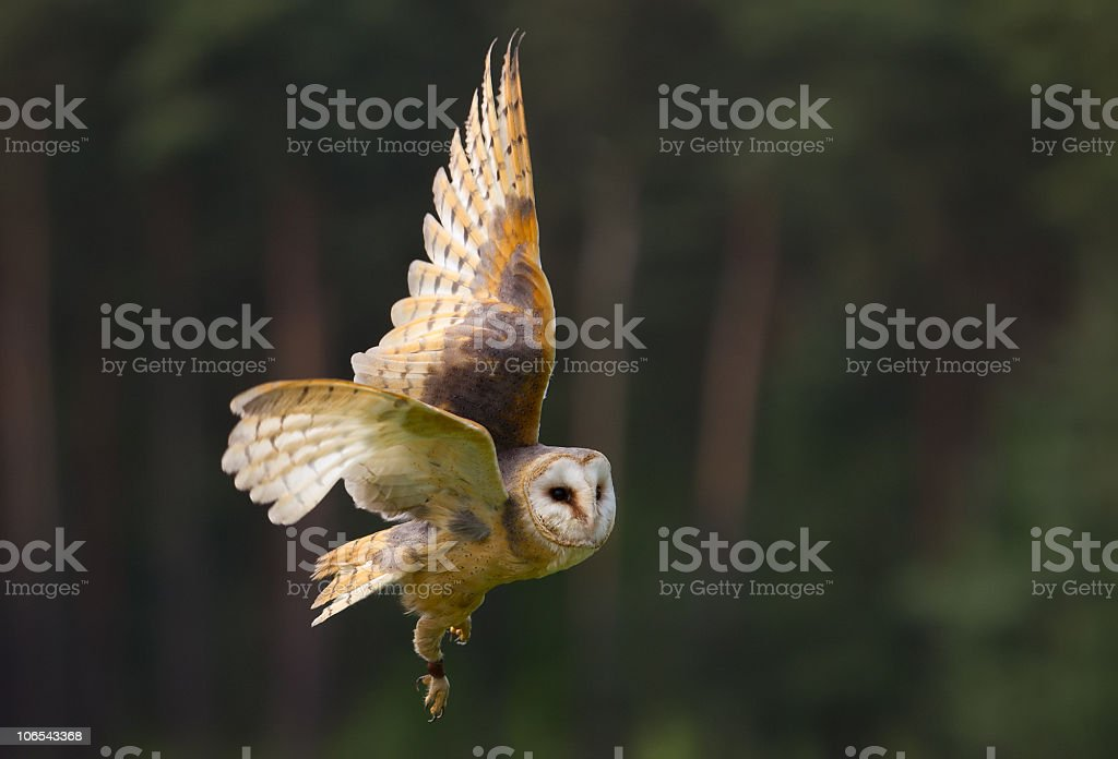 Barn own in flight with wings open stock photo