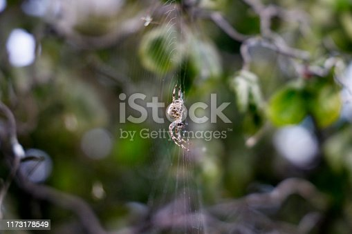 Barn spider on web