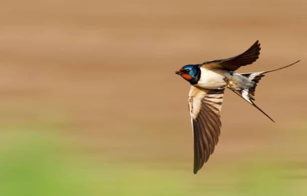 Barn swallow flies fast picture id1135928100?b=1&k=6&m=1135928100&s=612x612&w=0&h=hlgywdfyrybptes8hrrhgadn 3ms1jvhbjq1co7sl u=