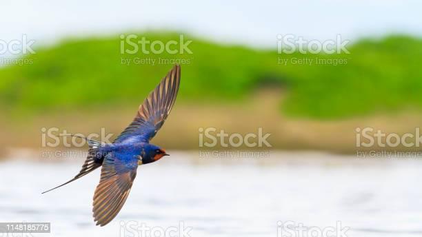 Barn swallow flies over the water opened wings picture id1148185775?b=1&k=6&m=1148185775&s=612x612&h=r5e3d6hzokesxrks3qjkeeujl2eau7medyi7q0qqcji=