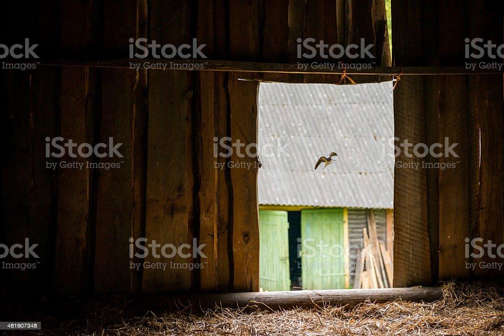 Barn swallow flying into hayloft stock photo
