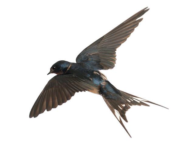 Barn Swallow, Hirundo rustica, lying against white background stock photo
