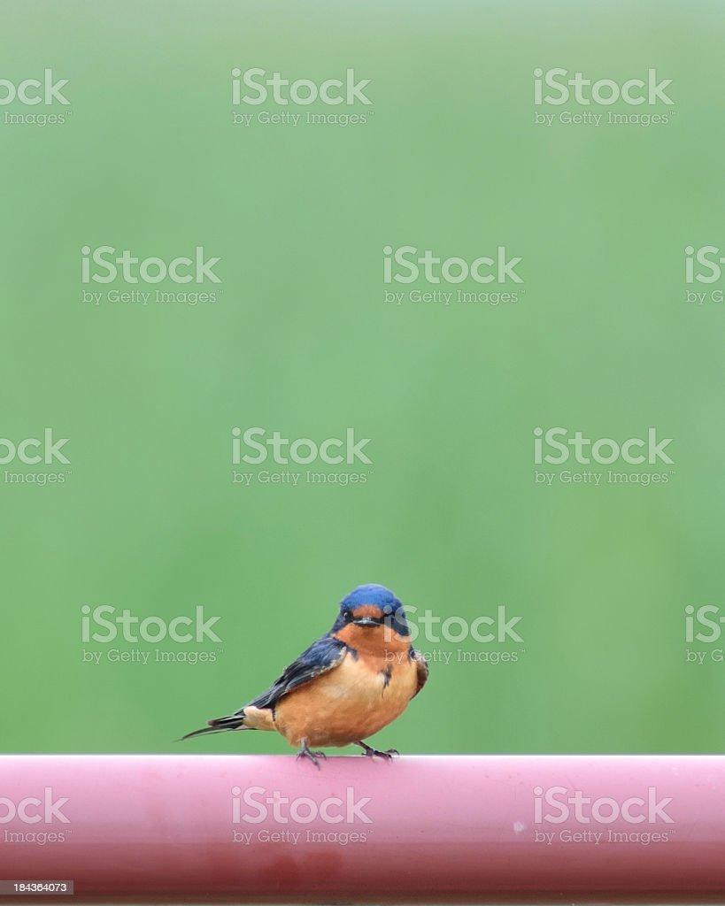 Barn Swallow, Hirundo rustica, On Pipe royalty-free stock photo