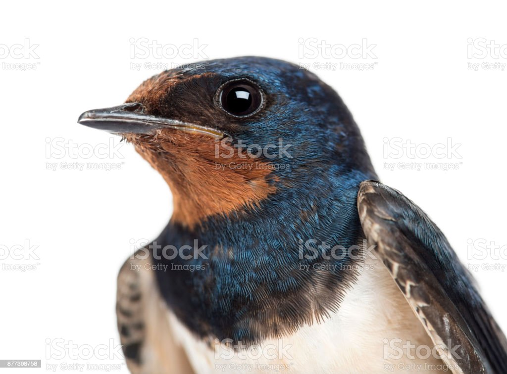 Barn Swallow, Hirundo rustica, perched on a wire against white background stock photo
