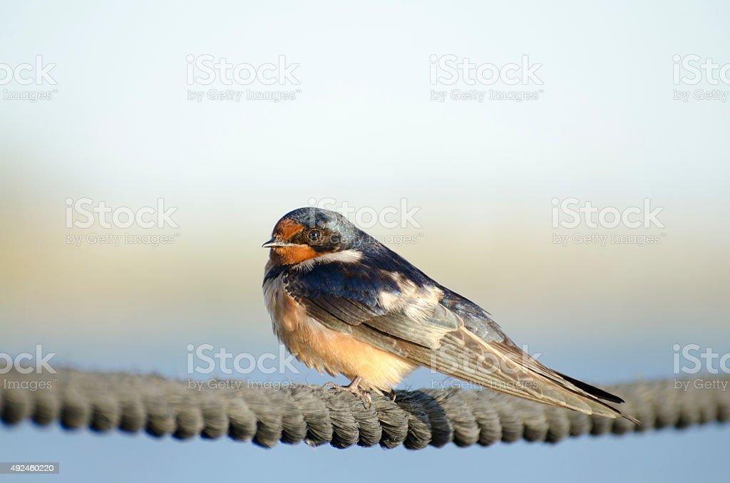 barn swallow, Hirundo rustica, perched on rope stock photo