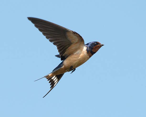 A barn swallow in flight in the sky stock photo