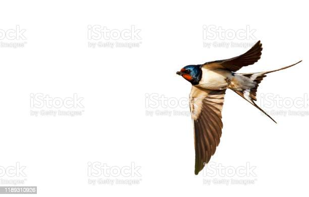 Barn swallow isolated on white background picture id1189310926?b=1&k=6&m=1189310926&s=612x612&h=hja2wvqb ljuxbf0hfvbz igcjsfaqoibkhpvweuzy4=