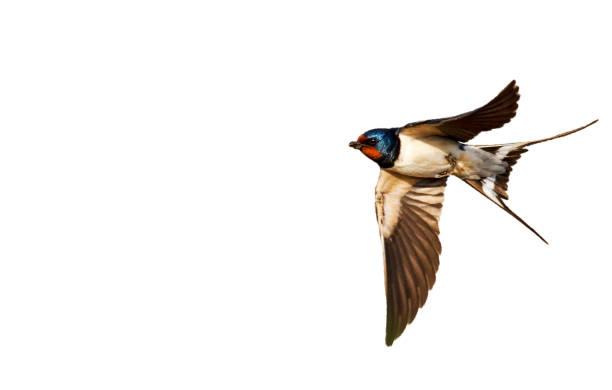 schuur slikken geïsoleerd op witte achtergrond - zanger vogel stockfoto's en -beelden