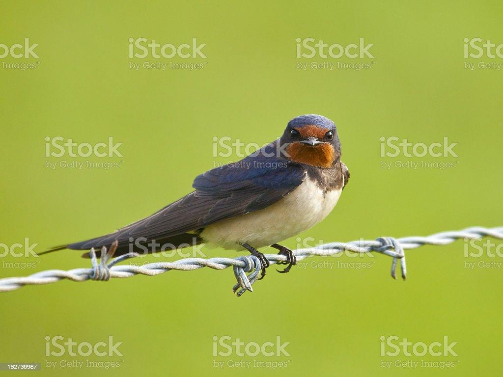 Barn Swallow (Hirundo rustica) on Barbed Wire stock photo