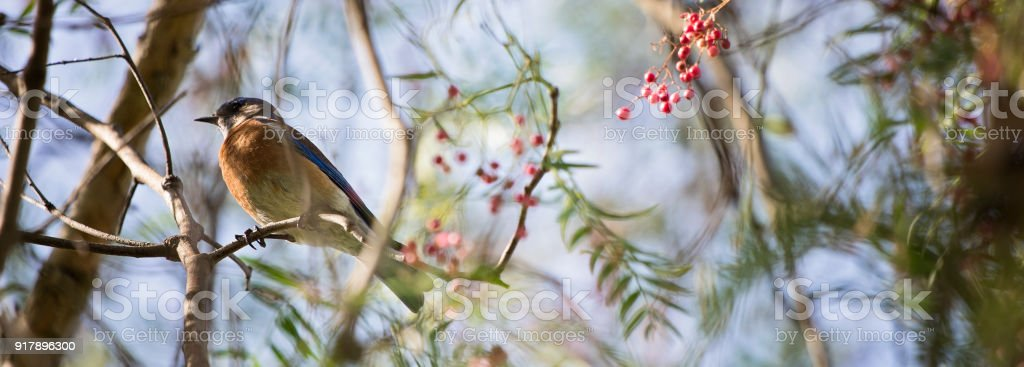Barn Swallow on branch stock photo