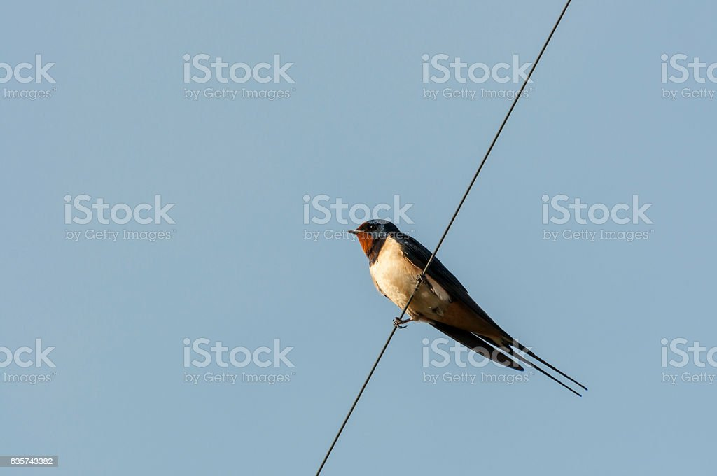 Barn Swallow perched on a wire stock photo