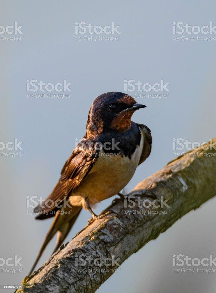 Barn swallow (Hirundo rustica)  sitting on a branch stock photo