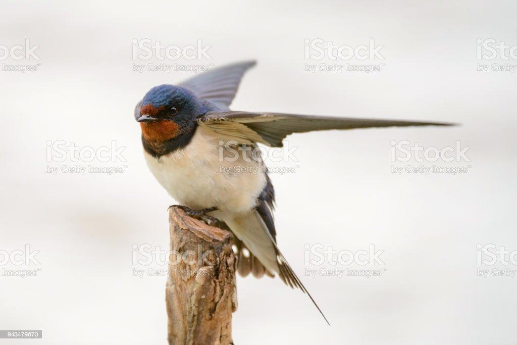 Barn swallow (Hirundo rustica) sitting on a stick stock photo