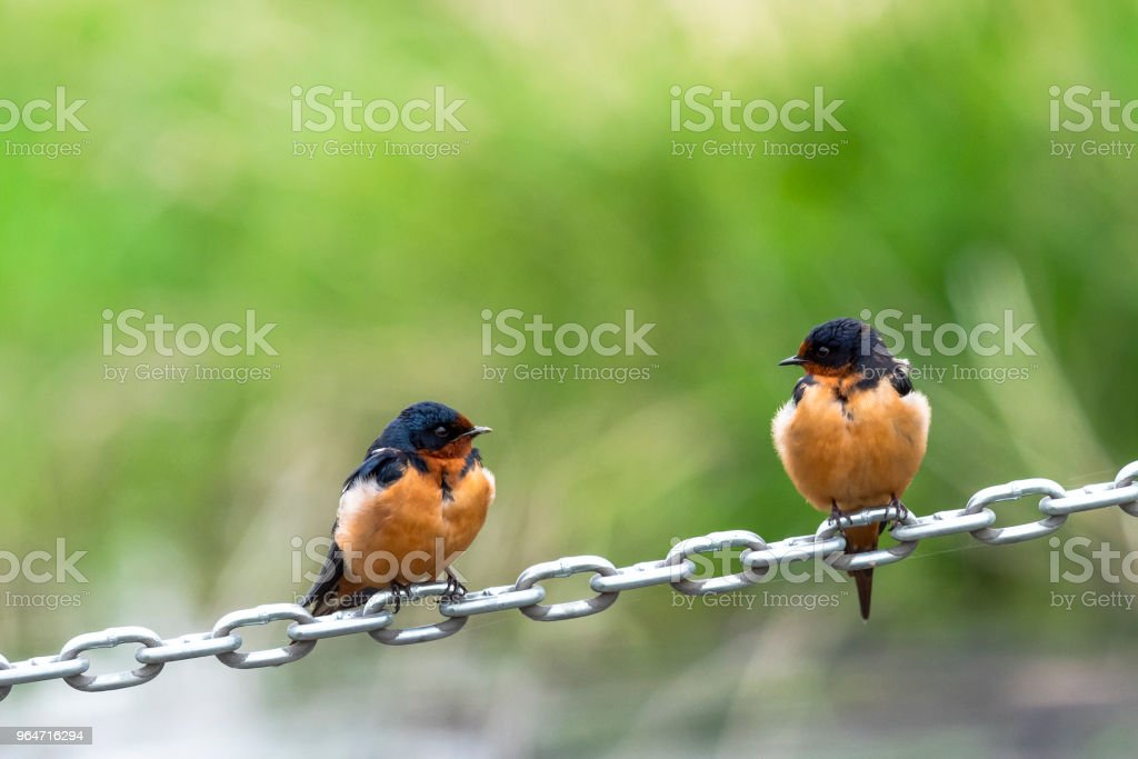 Barn Swallows Hirundo Rustica Perched on an Angled Chain royalty-free stock photo