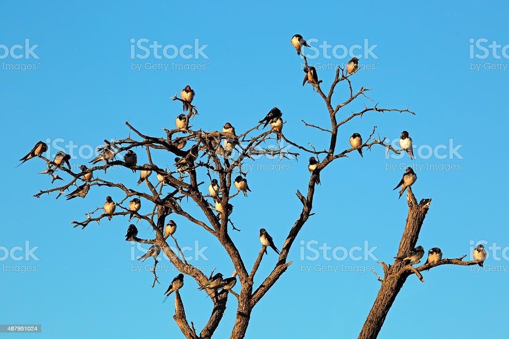 Barn swallows stock photo