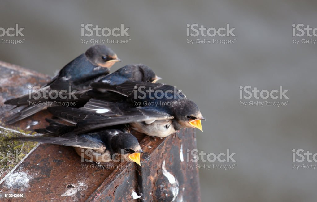 Barn swallows stock photo