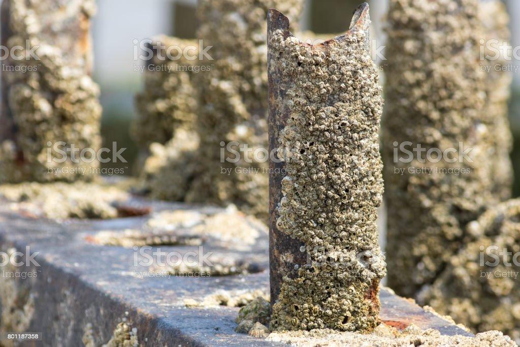 Barnacle encrusted rusty beach groyne (groin). Barnacles on a metal post. stock photo