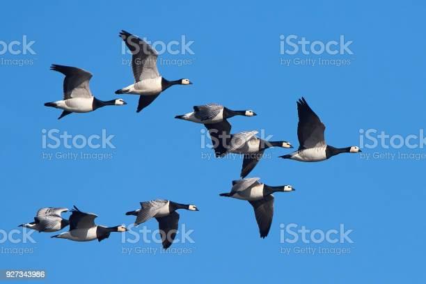 Barnacle geese picture id927343986?b=1&k=6&m=927343986&s=612x612&h=6bkzgscsmgbmmhaeaqqazdgdwjq4atxtr6679g3biom=