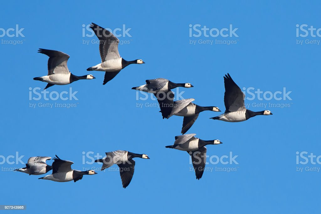 Barnacle geese (Branta leucopsis) stock photo
