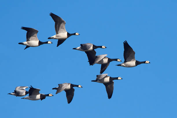 Barnacle geese (Branta leucopsis) Barnacle geese in flight with blue skies in the background flock of birds stock pictures, royalty-free photos & images