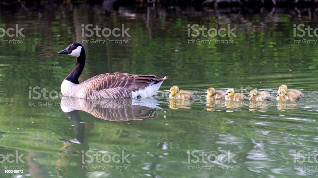 Barnacle goose and babies zbiór zdjęć royalty-free