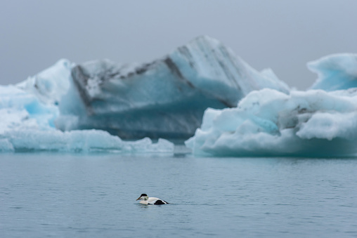 Barnacle goose, Branta leucopsis swimming on Jokulsarlon glacial lagoon in Iceland