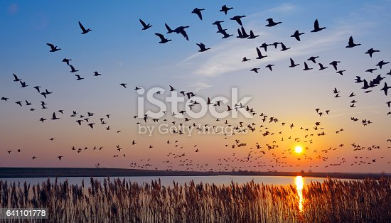 Flock of wintering Barnacle Goose(branta leucopsis)in wadden Sea,East Frisia,lower saxony,Germany
