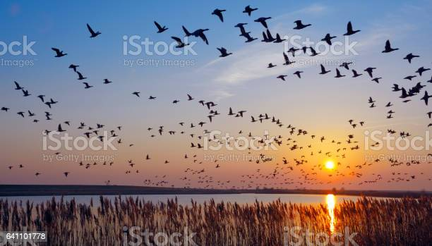 Flock of wintering Barnacle Goose(branta leucopsis)in wadden Sea,East Frisia,lower saxony,Germany
