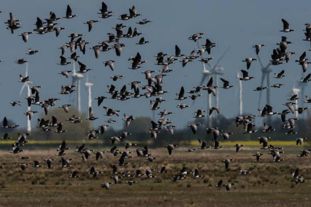 Barnacle goose – Foto