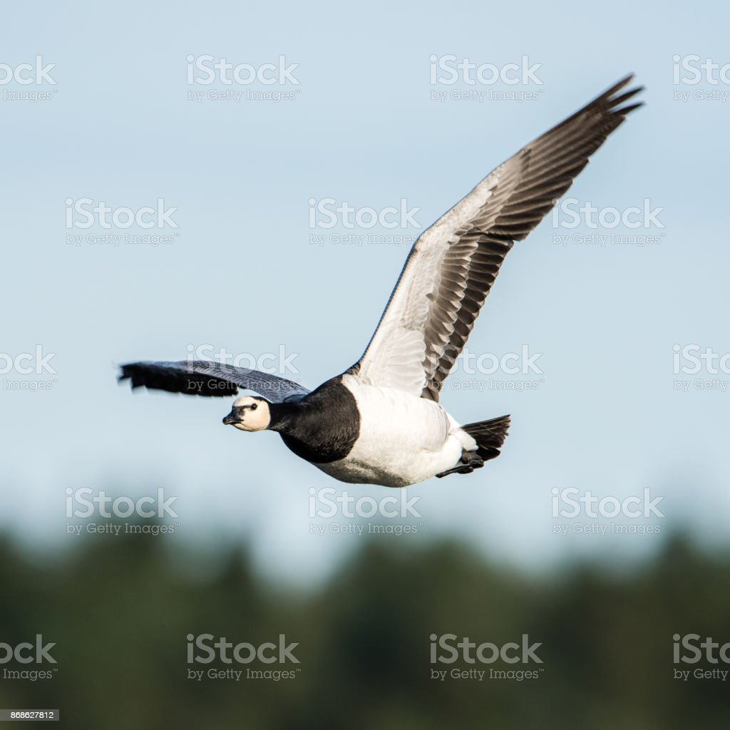 Barnacle Goose square stock photo