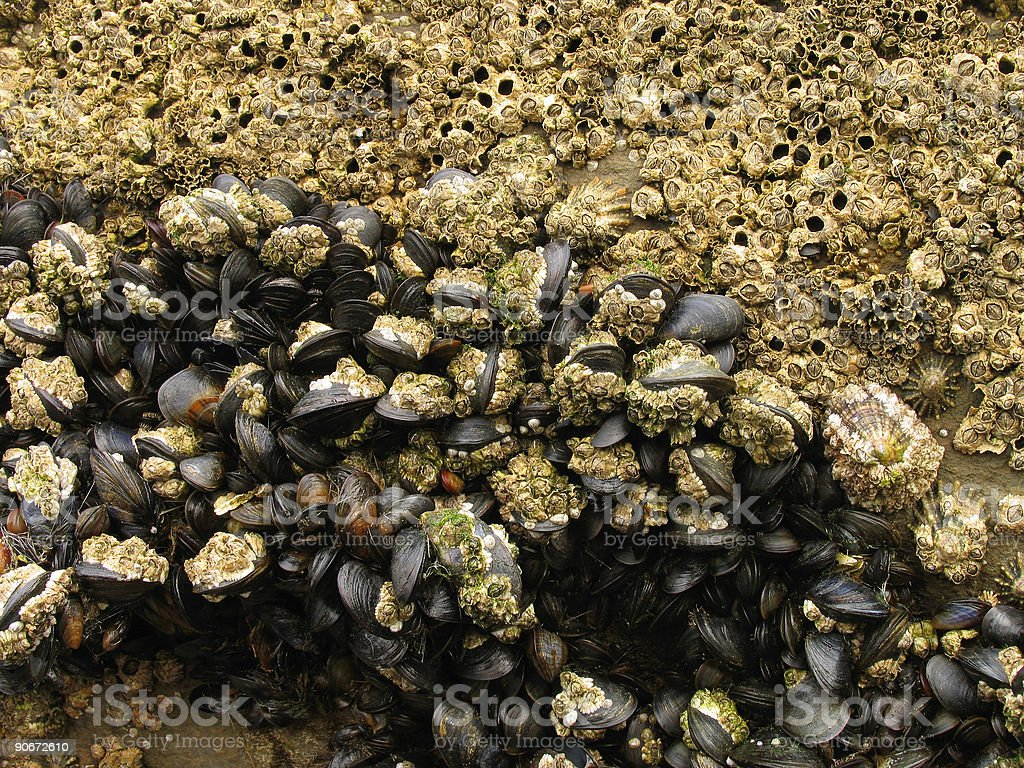 Barnacles on Rocks royalty-free stock photo