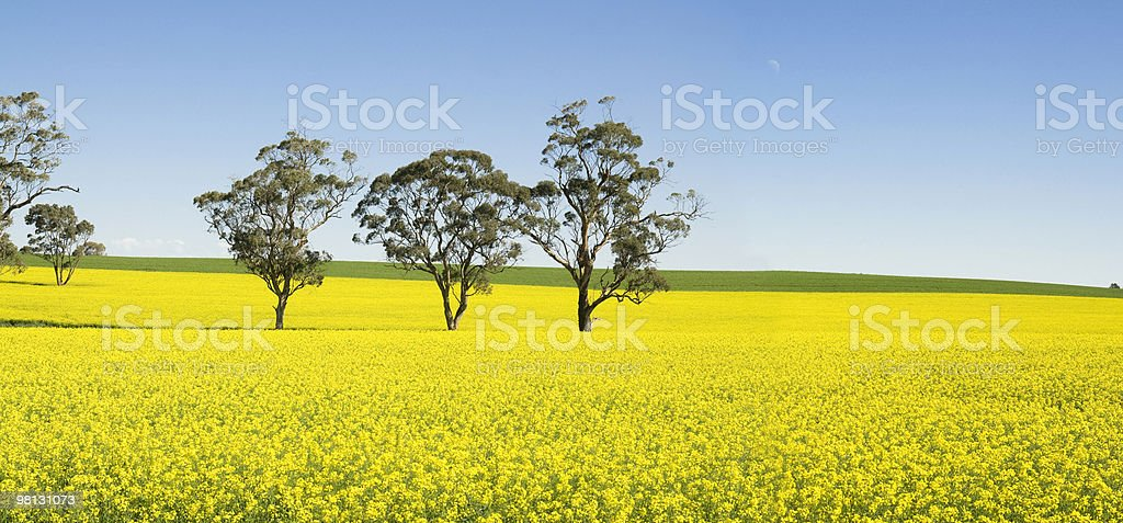 Valle Barossa Canola Field foto stock royalty-free