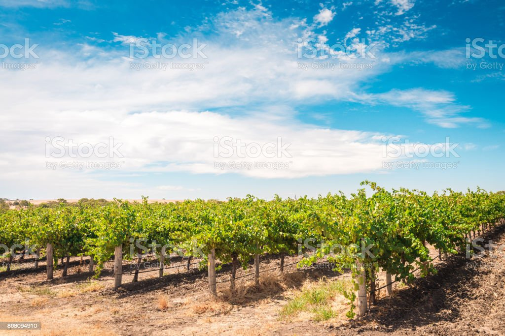 Barossa valley grapevines stock photo