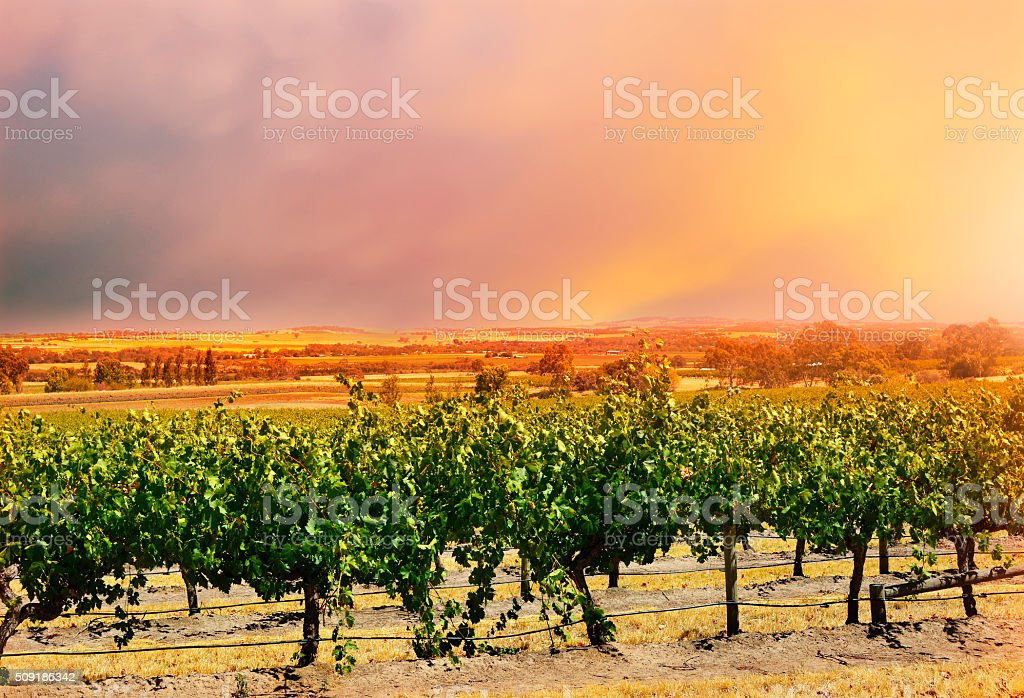 Barossa Valley rows of grape vines. stock photo
