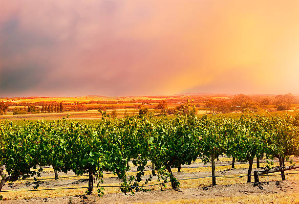 Barossa Valley rows of grape vines. stock photo