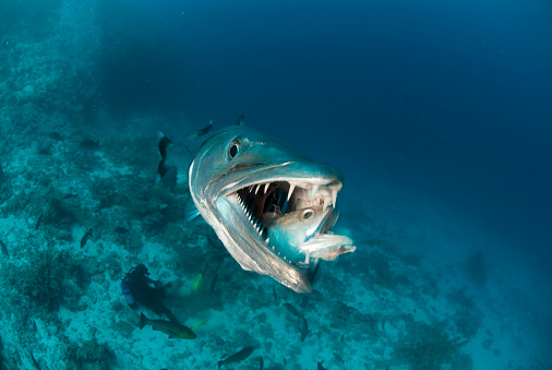 great barracuda opens mouth and devours a fish while a scuba diver sits on the reef below