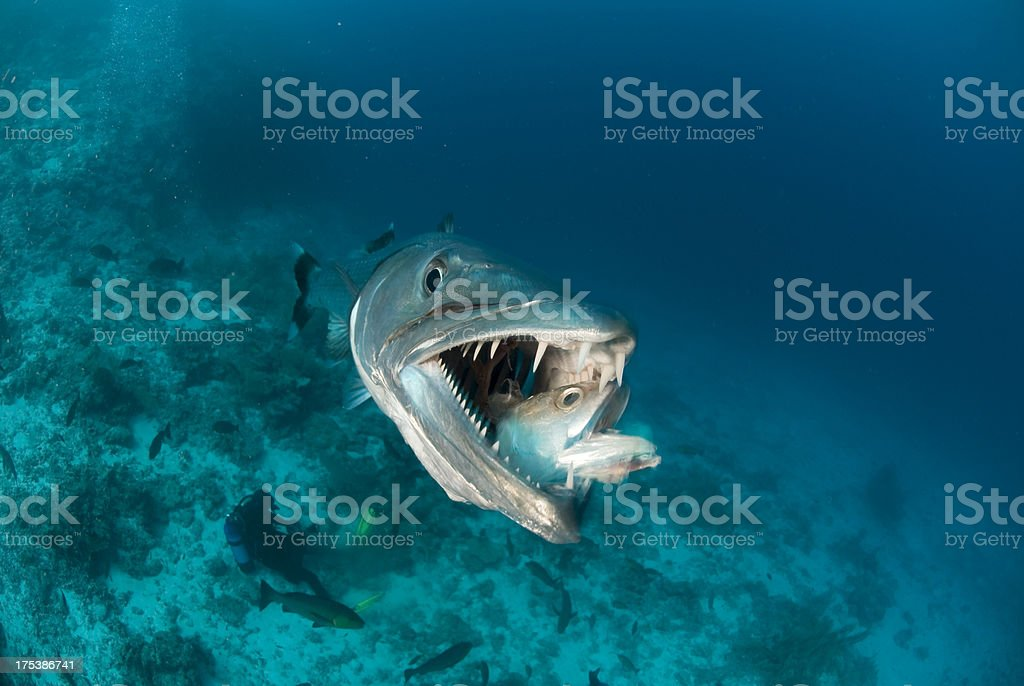 barracuda eats fish stock photo
