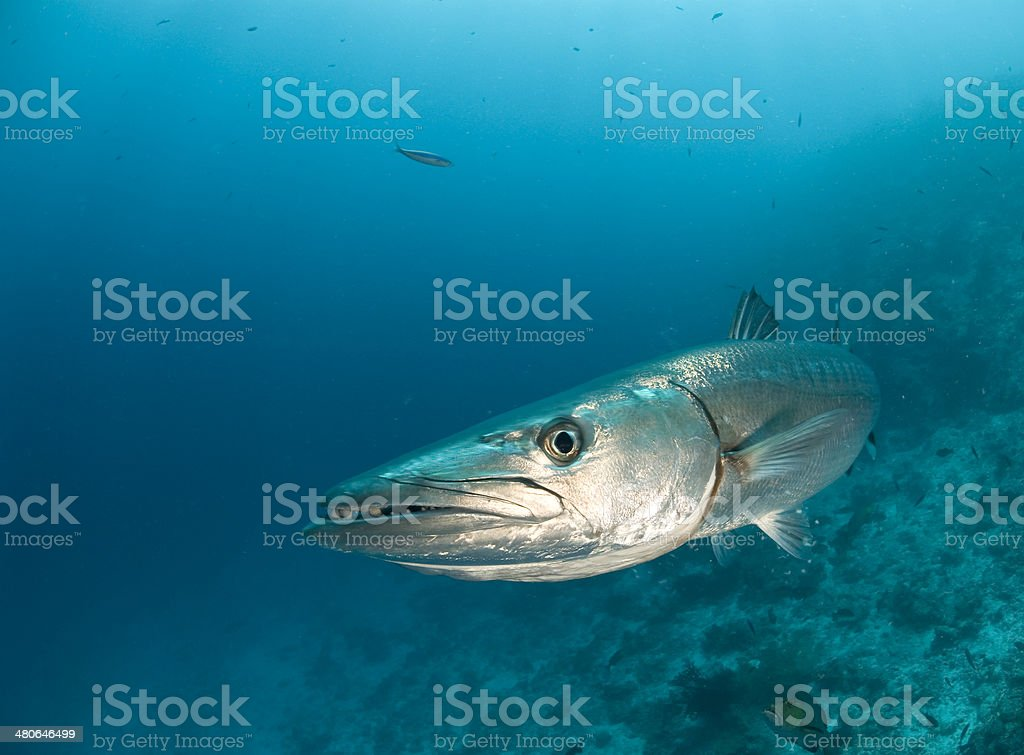 barracuda face stock photo