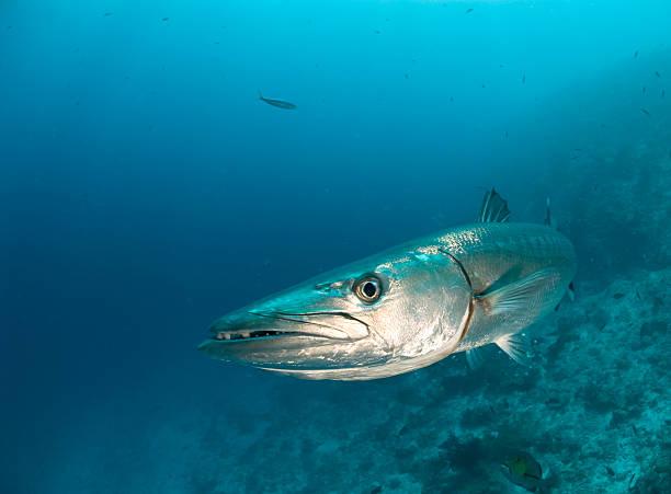barracuda rosto - foto de acervo