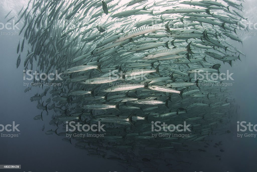 Barracuda peces en Sierra Point de Sipadan - foto de stock