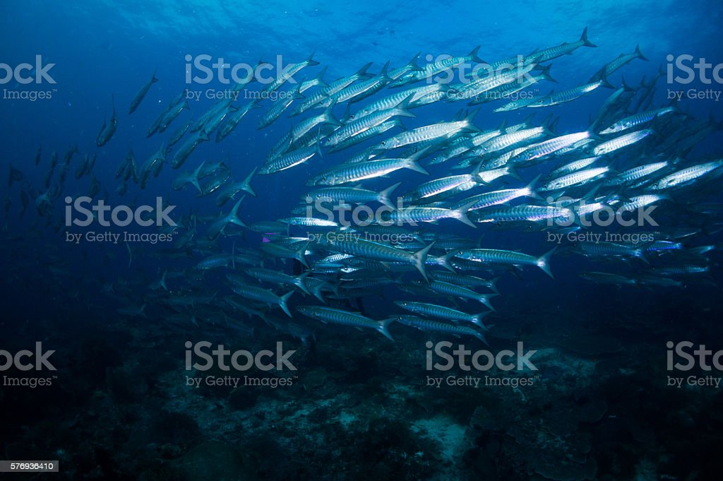 Pez Barracuda - foto de stock