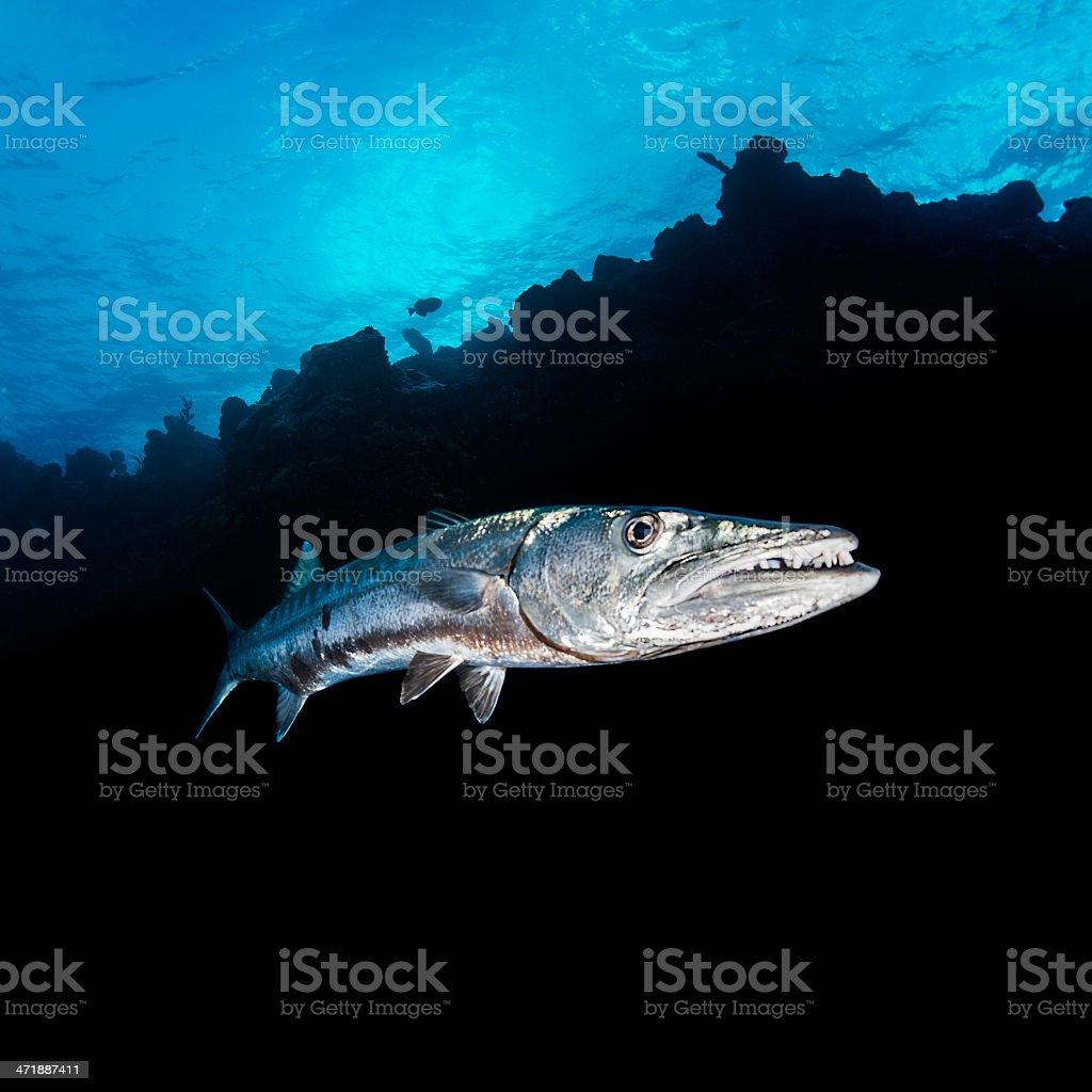 Barracuda stock photo