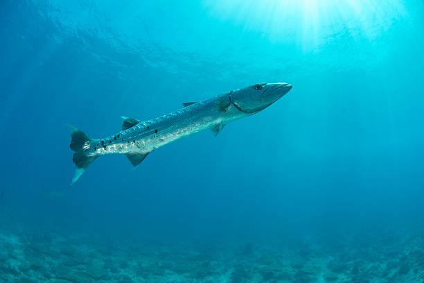 barracuda - foto de acervo