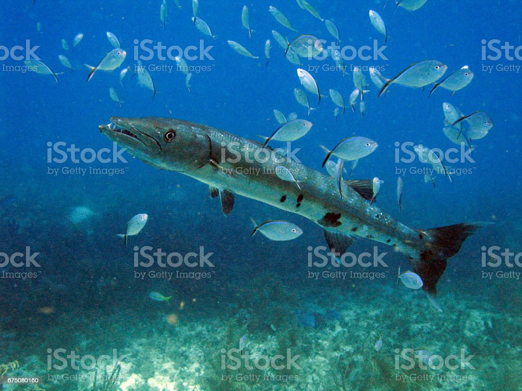 Barracuda - foto de stock