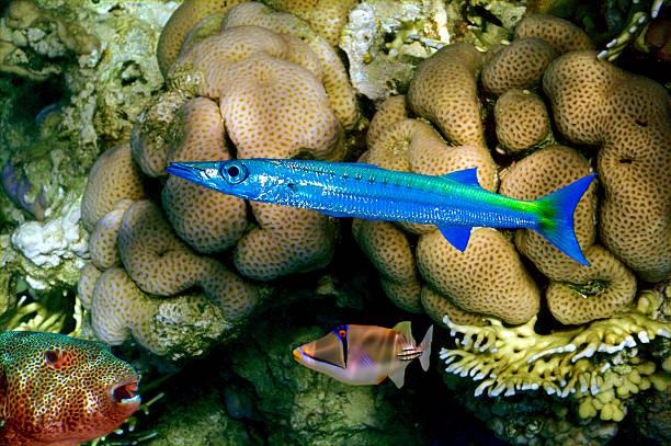 Barracuda, Puffer fish and Rhinecanthus assasi - foto de acervo