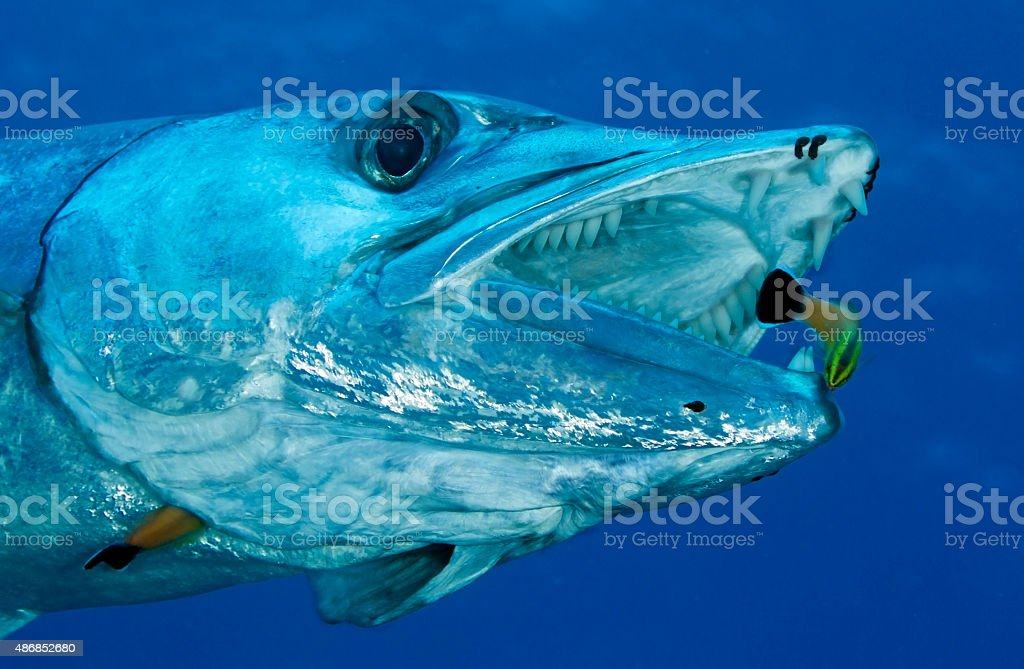 barracuda/ sphyraena barracuda stock photo